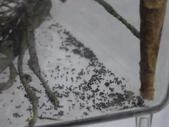 キマダラコウモリの卵.jpg