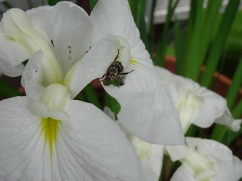 花菖蒲をたべるマダラコガネ.jpg